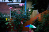 Roxanne Castillo, 8 (cq) waters flowers in front of her parents home near the corner of 44th and...