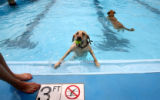 (333) Agent Scully tries to scramble out of the pool after retreiving a ball from her owner, Katie...