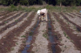 Pedro Medrano (cq), plants Pasilla Chile plants in his field in the foothill town of Santiago...