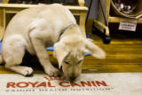 Dog owner, Karmen Berentsen's 12 week old yellow lab, Bagley, plays in the dog friendly store...