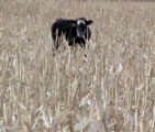 A cow owned by Ben Elliott (cq) of Colorado's Best Beef Company stands  in a corn field 15 miles...