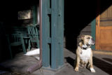 A English bulldog - Dezi is one of the charms at the Highland Haven - Creekside Inn in Evergreen,...