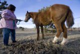 Debbi Shorkey holds her horse Cody a Missouri Fox Trotter whose tail has been chopped off with...