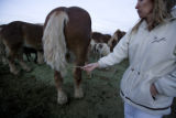 Cheryl Hoff looks at one of her Belgians that has had his tail looped off at Happy Trails Parker,...