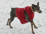 Stormy keeps warm by wearing a small boys vest, as he went for a walk with his master, Bob...
