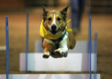 Zeke, owned by Sue Haner, leaps over a hurdle at a dog skills demonstration at the National...