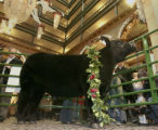Maynard, a 1,312 pound steer, named the Junior Grand Champion Steer in Class 4, was on display in...