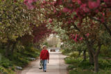 MJM088 Volunteer Monty Kugeler (cq) walks through a canopy of blossoming crabapple trees Tuesday...