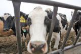 A dairy cow looks out from her pen at a dairy farm owned and operated by Ray Hardesty (cq) and his...