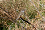 Brown-crested Flycatcher Attached is a photo of the bird  I found  at Crow Valley Campground on...