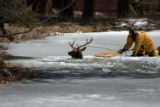 Last Sunday, April 13, 2008, a young bull elk, approximately three years old, fell into the lake...