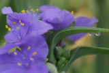 A spiderwort flower at Sabine Baur's Mountain View Gardens, a display garden of the Mile High...