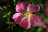 Pink Meidiland shrub rose.  Own-root roses at Harlequin's Gardens, a sustainable Nursery and...