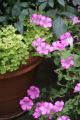 Dig.  Container gardening in Rob Proctor's yard in northwest Denver,  July 5, 2007.  (ELLEN...
