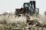 A young deer suns just outside of Rocky Flats property as trucks exit the facility Wednesday...