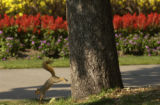 A squirrel jumps down from a tree in front of the flower gardens at Civic Center Park on August...