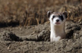 A Black-footed ferret pokes out of his hole at the National Black-footed Ferret Conservation...