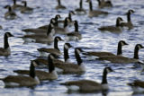 Canada geese in Denver City parks have grown in numbers in the past few years and the city is...