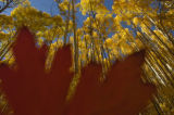 Placing a fallen leaf right in front of my lens I shot the aspen trees at the Maroon Bells...