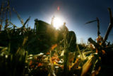 Resident Joe Polley, cq, 45, of Cheyenne WY., works a corn field at the Denver Rescue Mission...
