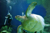 Diver Rebecca Sinkoff(cq) keeps an eye on one of the new Eastern Pacific Green Turtles Thursday...
