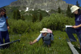 (7/22/2004, Gothic, CO) University of Maryland ecologist David Inouye (cq) counts flower blooms in...