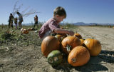 "Tyler Imhof,3 from Broomfield, gathers pumpkins at the ""Great Pumpkin patch at Rock Creek..."
