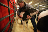 Dr. Mike Scott DVM handles the big and the little as he checks a newly arrived 'bottle calf' in a...