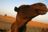 MERZOUGA, MOROCCO AUGUST 29, 2007 - Moroccan Berbers and Camels near the village of Merzouga where...