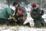 L-R  Dr. Dan Baker, with the Dept. of Biomedical Sciences at CSU attaches a tracking collar to elk...