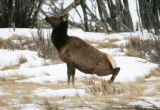 Elk #8081 , a 15 year old cow elk feels the effect of being  tranquilized in Rocky Mountain...