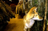 (DENVER, Colo., Nov. 7, 2005) A taxidermied coyote looks as thought his is sniffing pants at the,...