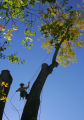 Arborist Charley Wagner (cq), 26, with Swingle Lawn, Tree and Landscape Care, climbs up the last...