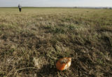 David Schlagel, of Eaton, Colo., searches for remnants of  pumpkins fired from his home-made canon...
