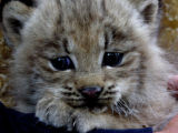 Researchers from the Colorado Division of Wildlife (DOW) found 46 lynx kittens during the annual...