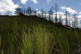 Western Wheatgrass gross in the Hayman burn area around and above Cheesman Lake near Deckers...