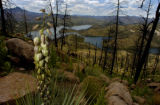 A blooming Yucca plant is part of the re-growth of the Hayman burn area around and above Cheesman...