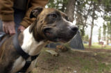 Zena , a female brindle-colored pit bull, plays at Mariah's Promise animal sanctuary in Divide on...