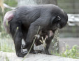 The Denver Zoo celebrate the birth of an endangered Celebes Macaque born at the zoo on July 18th. ...