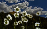 A field of daises grows along highway 550 north of Silverton Colorado last week. This is a good...
