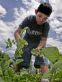 Cesar Rivera, (cq) 10 picks radishes from his plot at the Fairview Community Garden (cq) Sunday...