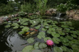 Ellen Jaskol's (cq) pond in her back yard is full of water lilies, koi and gold fish.   (JUDY...