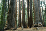 A grove of Sequoias in Sequoia National Park. Sometimes, the largest trees, with trails to them...