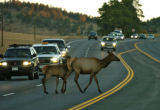 A Cow and her calf crosses Hwy. 74 in Evergreen stopping  south bound traffic Thursday morning...