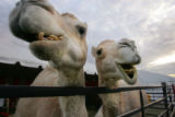One-humped white camels, Lilly, left, and Chicka, with the Ringling Bros. and Barnum & Bailey...