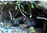 A female black bear sleeps close to the entrance of her den. Her den is located near Hot Sulphur...