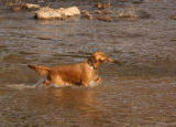 (DENVER, Colo., January 19, 2005) Samantha, a pure bred 3-1/2 year old Golden Retriever, hauls a...