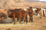 (CANON CITY, Colo., January 21, 2005)  These wild horses are all adobtable mares ages 2-5...
