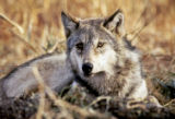 NYT42 - (NYT42) UNDATED -- Feb. 4, 2005 -- WYO-WOLVES -- A gray wolf is seen in April 2004, in a...