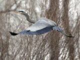 (LONGMONT, Colo., February 7, 2005)  A blue heron takes flight over a lake at the St. Vrain State...